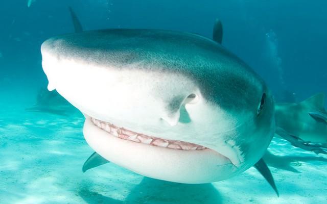 36 foto 39 s van haaien schitterende haaienfoto 39 s - Photo de requin tigre a imprimer ...